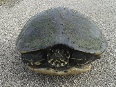 Turtle on Levee
